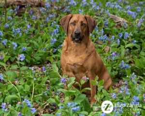 Spring photo tips of Redbone Coonhound in the bluebells