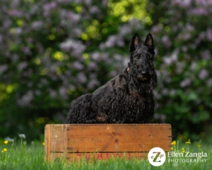 Spring photo tips with photo of Scottie sitting in front of the cherry blossom