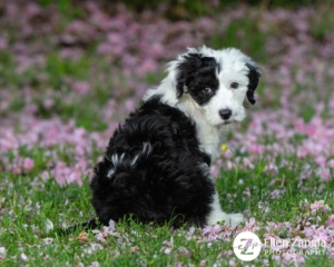 Photo of puppy sitting in the cherry blossoms in Loudoun County, VA