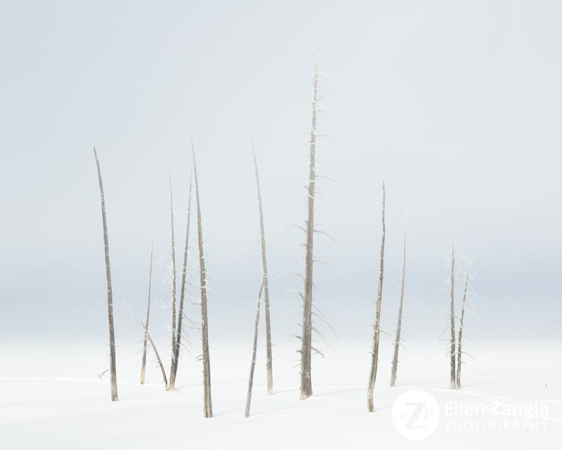 Photo of Lodgepole Pine Trees in Yellowstone Park by photographer Ellen Zangla
