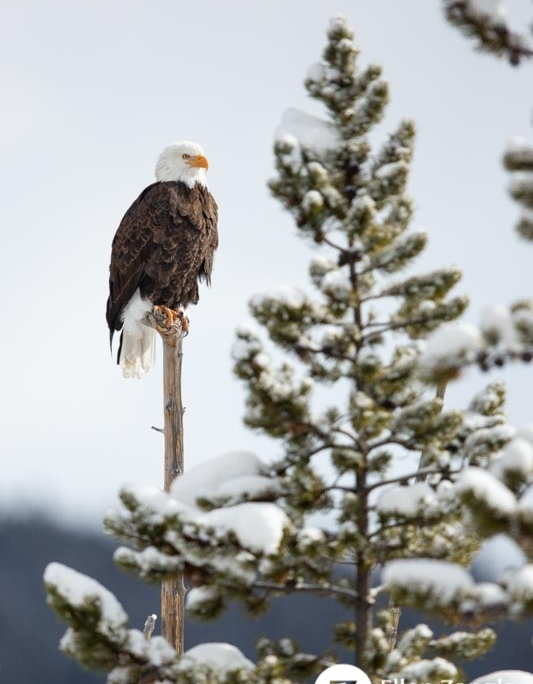 Photo of eagle in Yellowstone by pet and nature photographer Ellen Zangla Photography