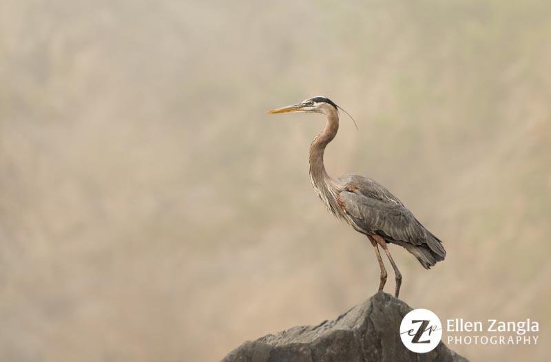 Photograph of heron by pet and wildlife photographer Ellen Zangla Photography