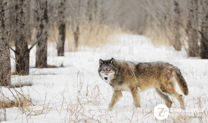 Award-winning photo of wolf walking in snowy woods by pet and wildlife photographer Ellen Zangla Photography