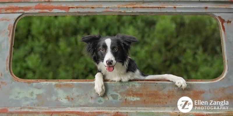 Award-winning Border Collie puppy photo by Ellen Zangla Photography in Loudoun County VA
