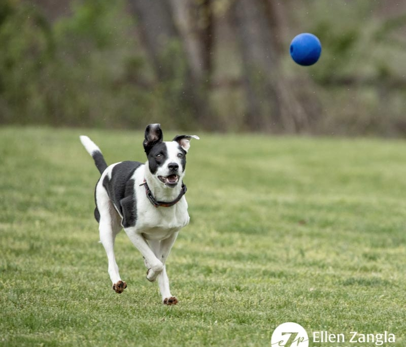 Photo of American Staffordshire Terrier mix chasing a ball in Loudoun County VA by Ellen Zangla Photography