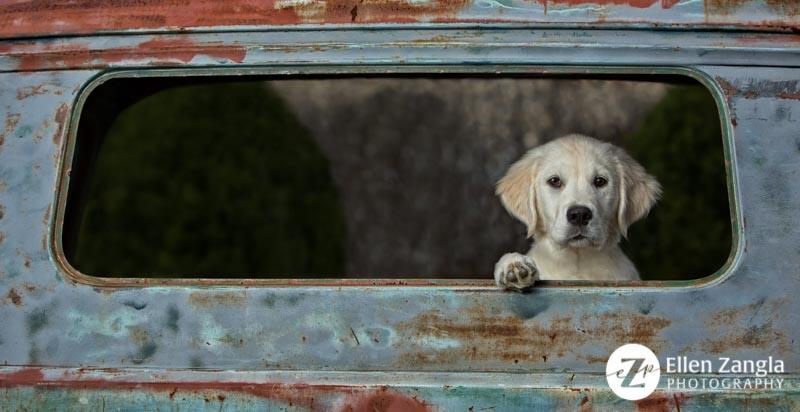 Award-winning photo of English Cream Golden Retriever puppy by Ellen Zangla Photography in Loudoun County VA