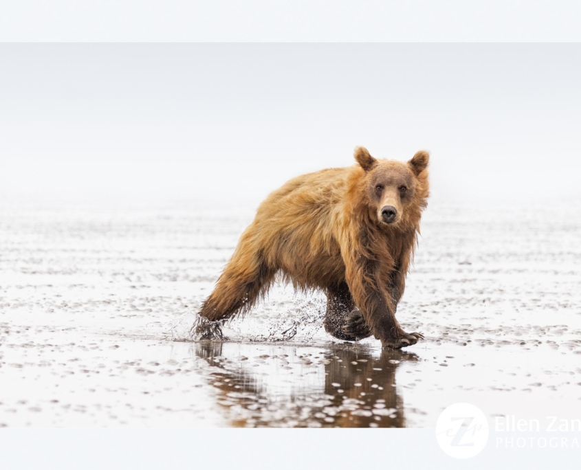 Photo of Grizzly Bear by Ellen Zangla Photography