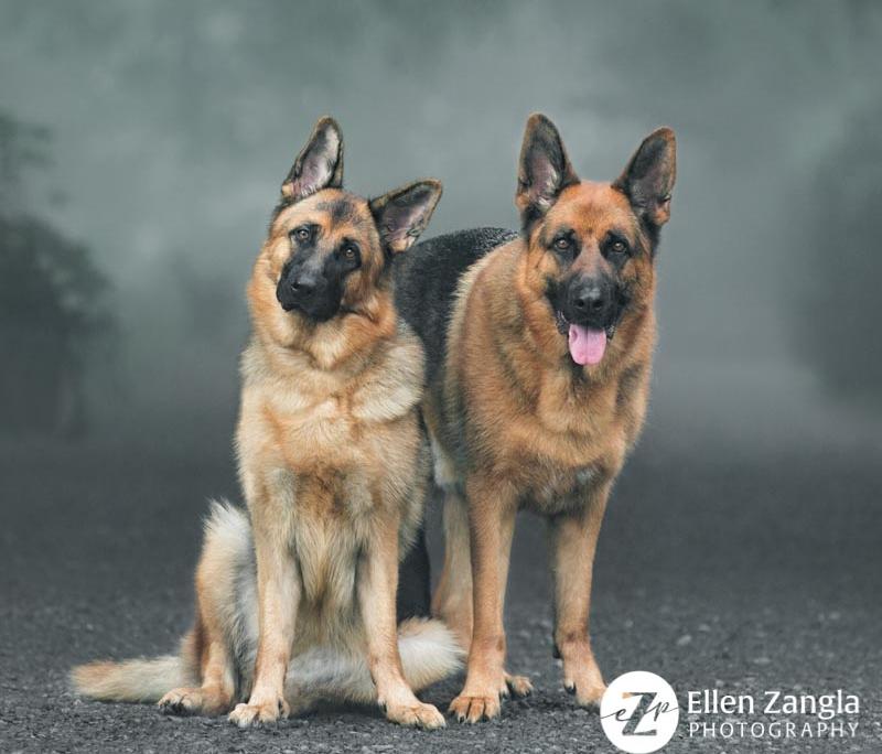 Photo of two German Shepherd in Leesburg VA by Ellen Zangla Photography