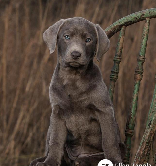 Award-winning photo of Silver Lab puppy by Ellen Zangla Photography in Loudoun County VA