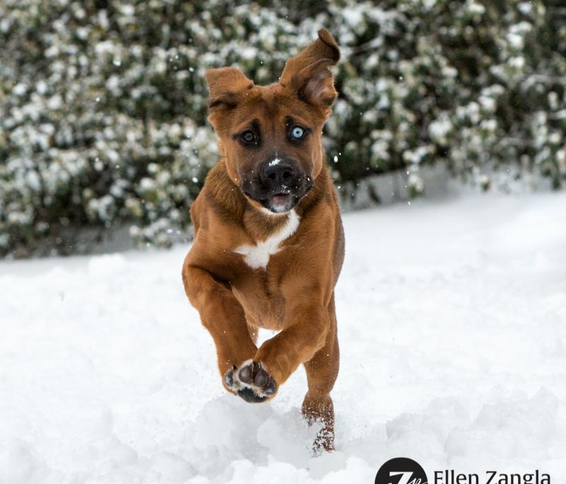 Photo of puppy running in the snow in Loudoun County VA by Ellen Zangla Photography