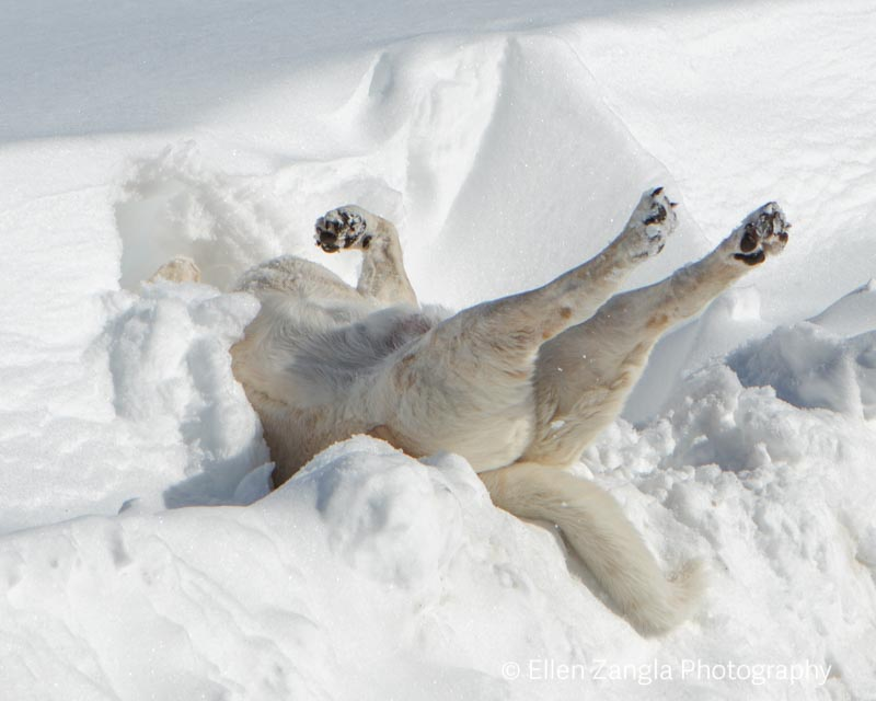 Funny photo of Hound rolling in the snow in Loudoun County VA by Ellen Zangla Photography