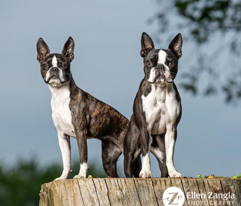 Photo of two Boston Terriers in Loudoun County by Ellen Zangla Photography