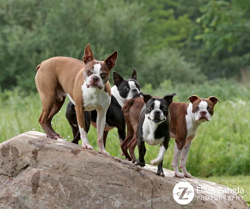 Photo of four Boston Terriers by Ellen Zangla Photography in Loudoun County VA