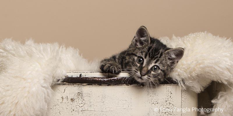 Kitten photo by Ellen Zangla Photography in Leesburg VA