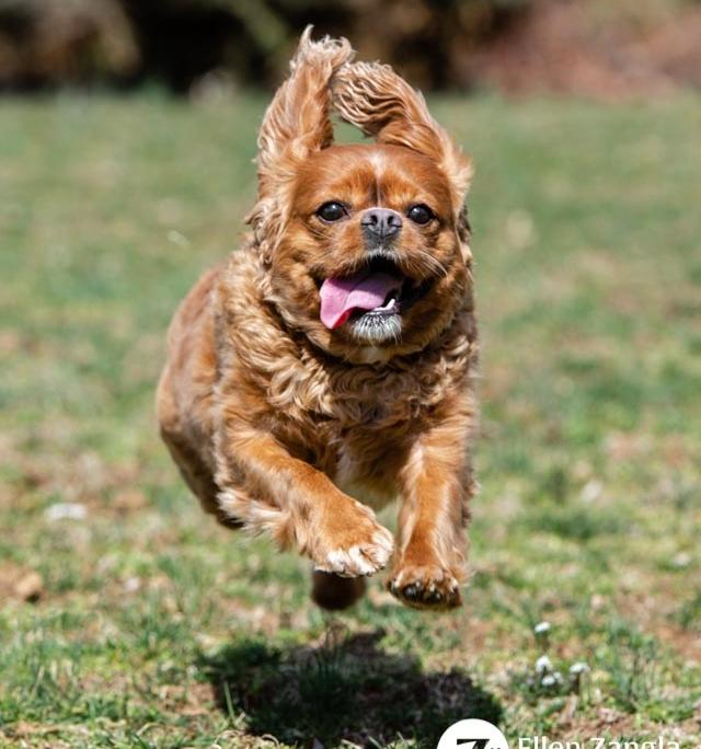 Photo of Cavalier King Charles Spaniel running by Ellen Zangla Photography in Loudoun County VA