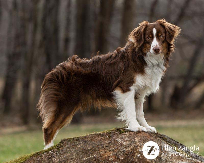 Mini Aussie puppy photo in Leesburg VA by Ellen Zangla Photography