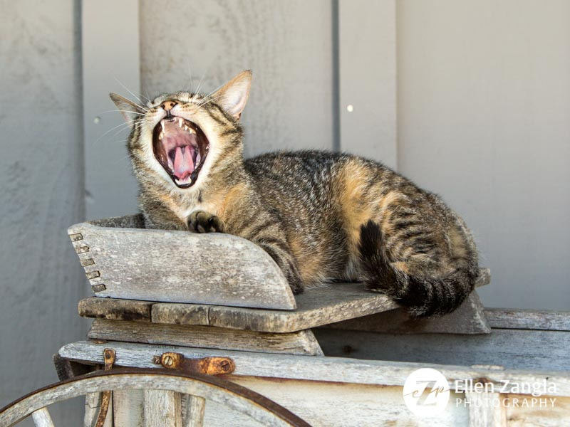 Funny cat photo in Loudoun County VA by Ellen Zangla Photography