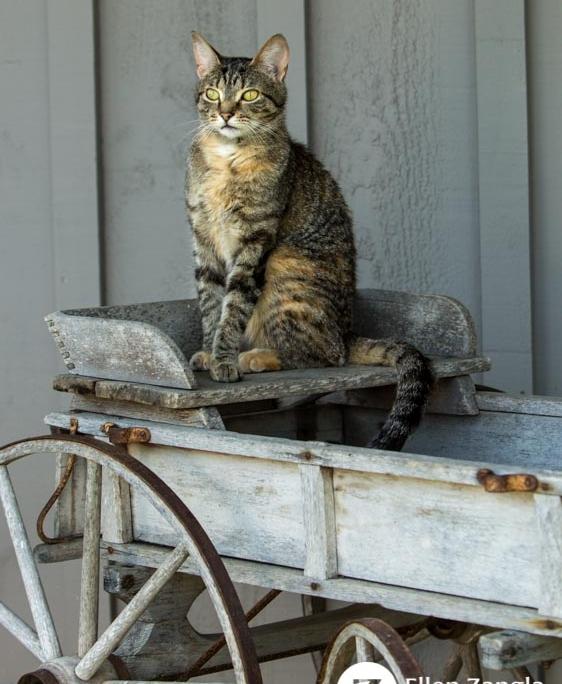 Cat photo by Ellen Zangla Photography taken outdoors in Loudoun County VA