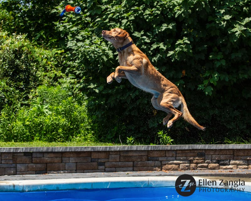 Photo of Lab jumping in a pool in Loudoun County VA by Ellen Zangla Photography