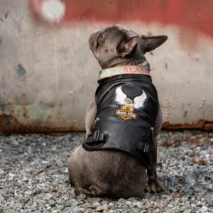 French Bulldog Photo by Ellen Zangla Photography in Loudoun County VA
