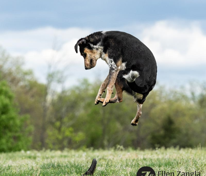 Photo of dog jumping in the air in Ashburn VA by Ellen Zangla Photography
