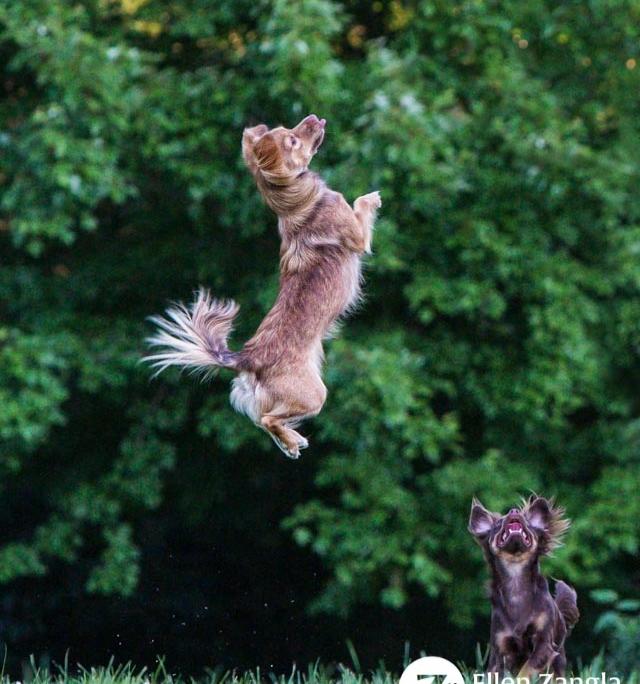 Photo of Chihuahua mix dog jumping by Ellen Zangla Photography in Loudoun County VA