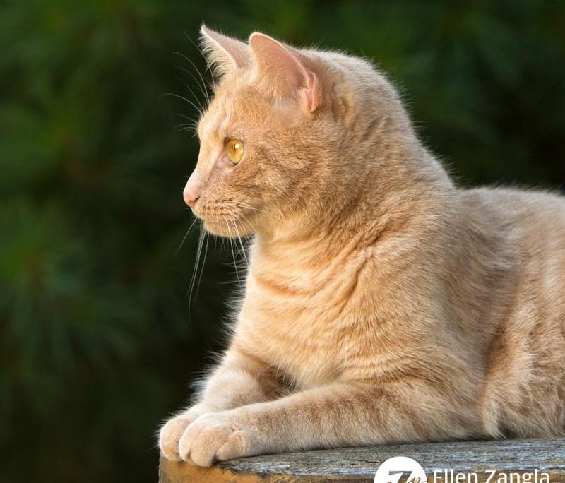 Award-winning photo of ginger cat by Ellen Zangla Photography in Loudoun County VA