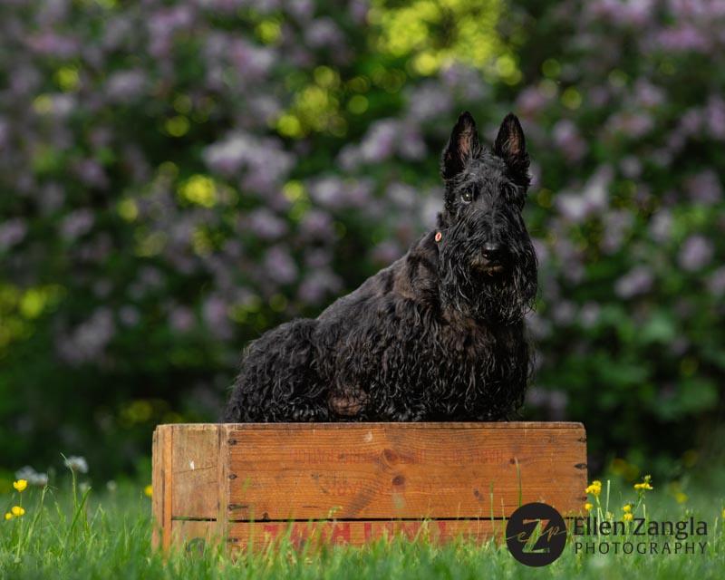 Photo of Scottie in Loudoun County VA by Ellen Zangla Photography