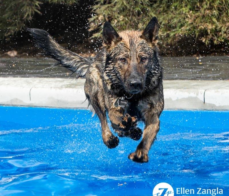 Photo of German Shepherd Dog jumping in the pool in Loudoun County VA by Ellen Zangla Photography