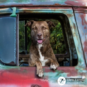 Photo of Pitbull by Ellen Zangla Photography in Loudoun County VA