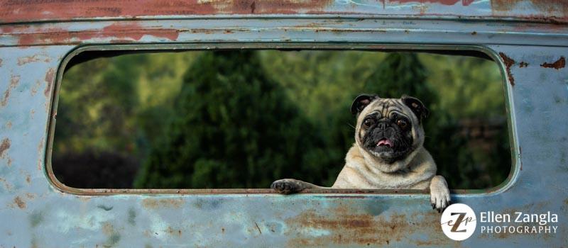 Photo of Pug in Loudoun County VA by Ellen Zangla Photography