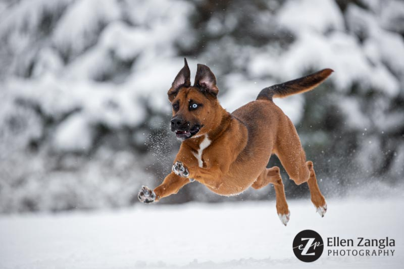 Photo of mixed breed dog running in the snow in Loudoun County VA by Ellen Zangla Photography