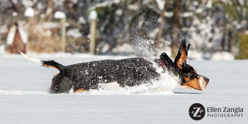 Photo of Basset Hound running in the snow in Loudoun County VA by Ellen Zangla Photography