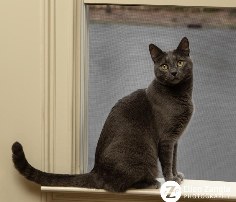 Cat photo by Loudoun County VA photographer Ellen Zangla
