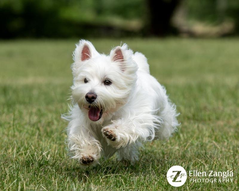 Photo of Westie running by Ellen Zangla Photography in Loudoun County VA