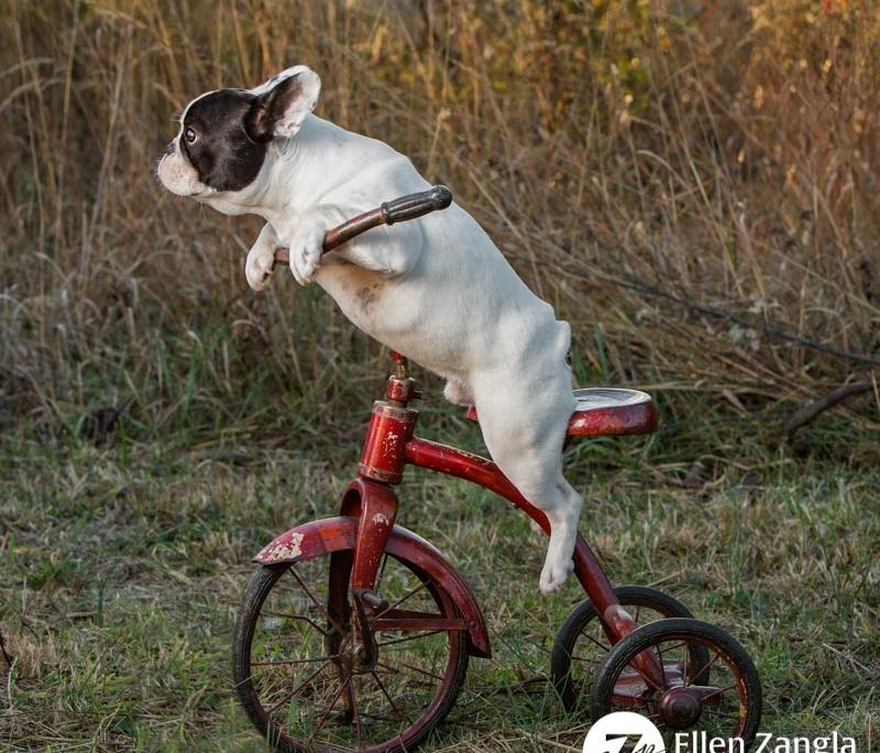 Funny photo of French Bulldog puppy in Leesburg VA by Ellen Zangla Photography