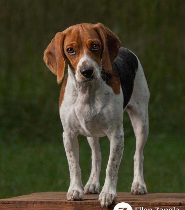 Photo of Beagle in Loudoun County VA by Ellen Zangla Photography