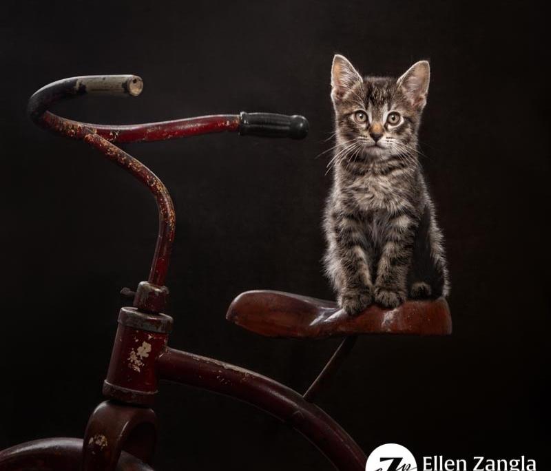 Award-winning kitten photo taken in Leesburg VA by Ellen Zangla Photography