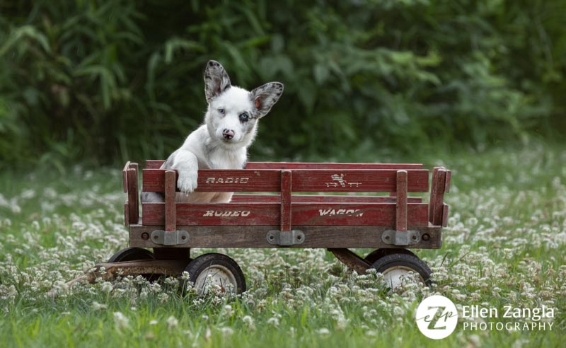 Photo of Corgi puppy by Ellen Zangla Photography taken in Loudoun County VA