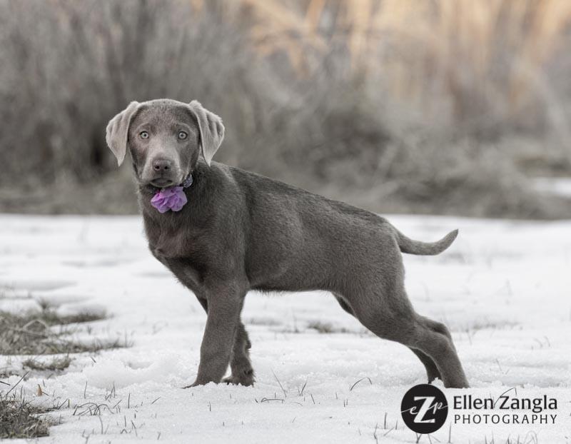 Photo of Silver Lab puppy by Ellen Zangla Photography in Loudoun County VA