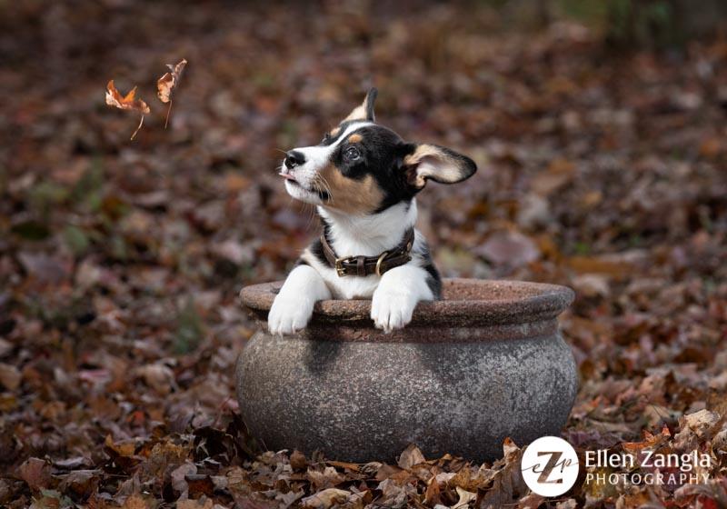 Corgi puppy photo by Ellen Zangla Photography in Loudoun County VA