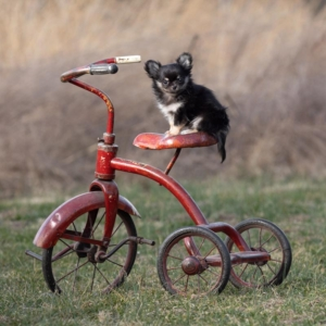 Chihuahua puppy photo by Ellen Zangla Photography in Loudoun County VA