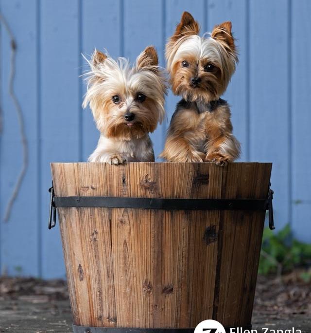 Photo of two Yorkies by Ellen Zangla Photography in Loudoun County