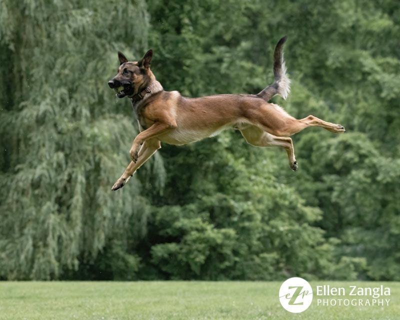 Photo of Belgian Malinois jumping by Ellen Zangla Photography in Loudoun County VA