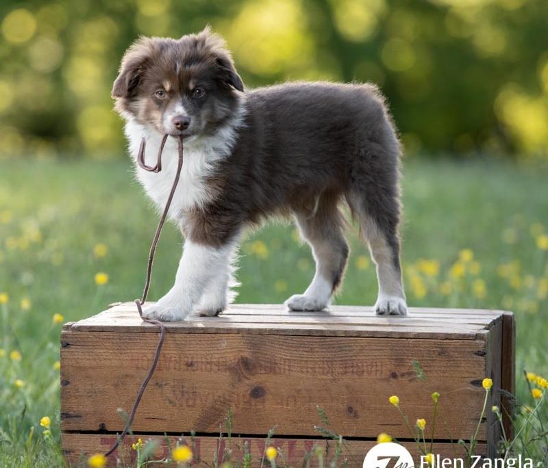 Photo of mini Aussie puppy taken in Loudoun County VA by Ellen Zangla Photography