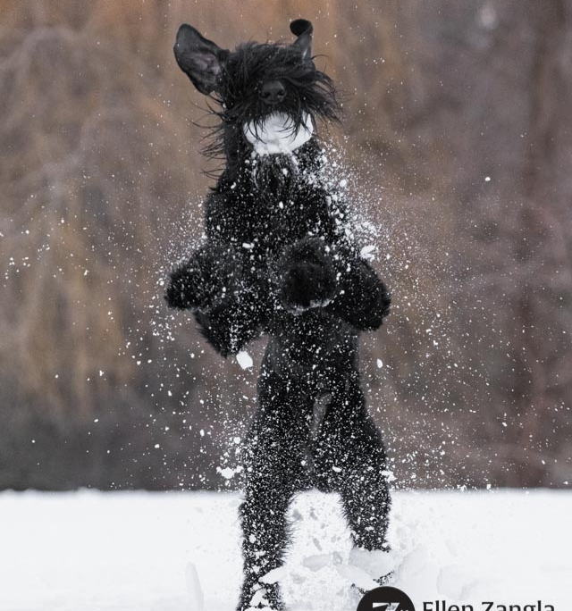 Photo of Giant Schnauzer playing in the snow in Loudoun County VA by Ellen Zangla Photography