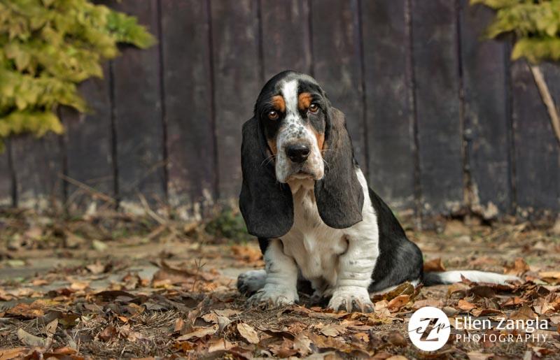 Award-winning Basset puppy photo by Ellen Zangla Photography in Loudoun County VA