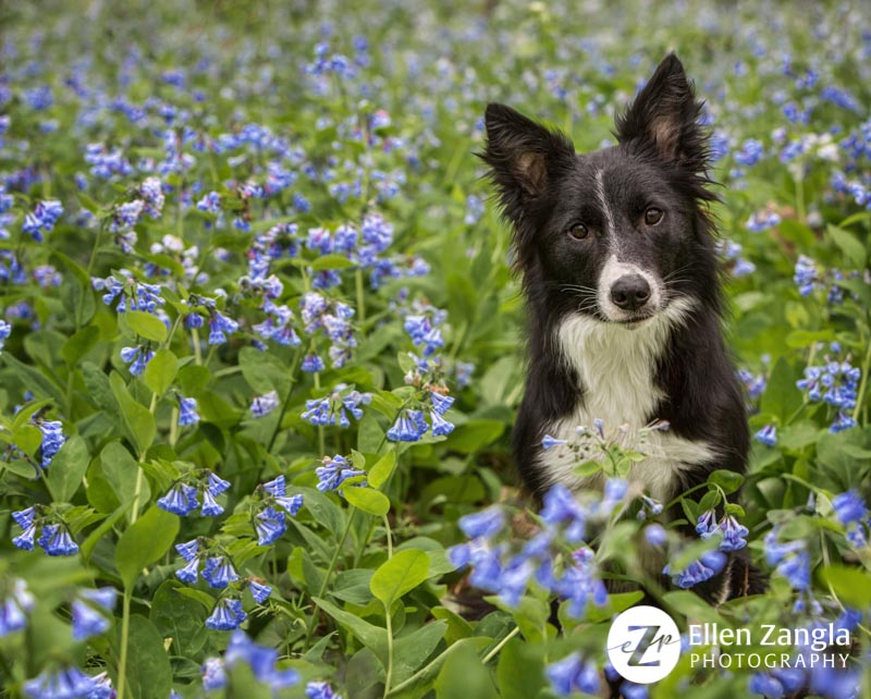 Photo of Border Collie in the bluebells in Loudoun County VA by Ellen Zangla Photography