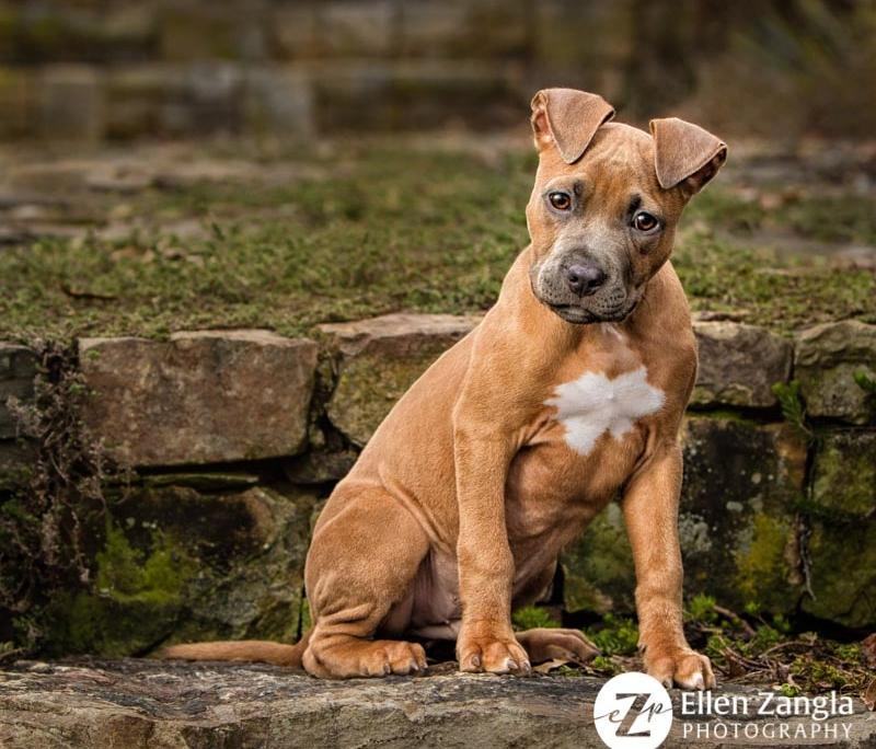 Award-winning photo of Pitbull puppy taken in Loudoun County VA by Ellen Zangla Photography