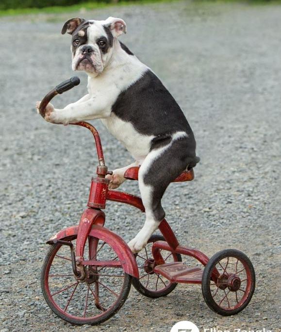 Photo of Bulldog puppy in Loudoun County VA by Ellen Zangla Photography